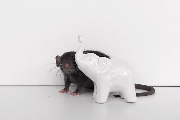 Black Rat With White Pot Elephant On White Background
