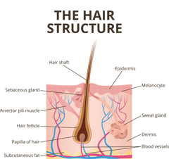 Hair Structure