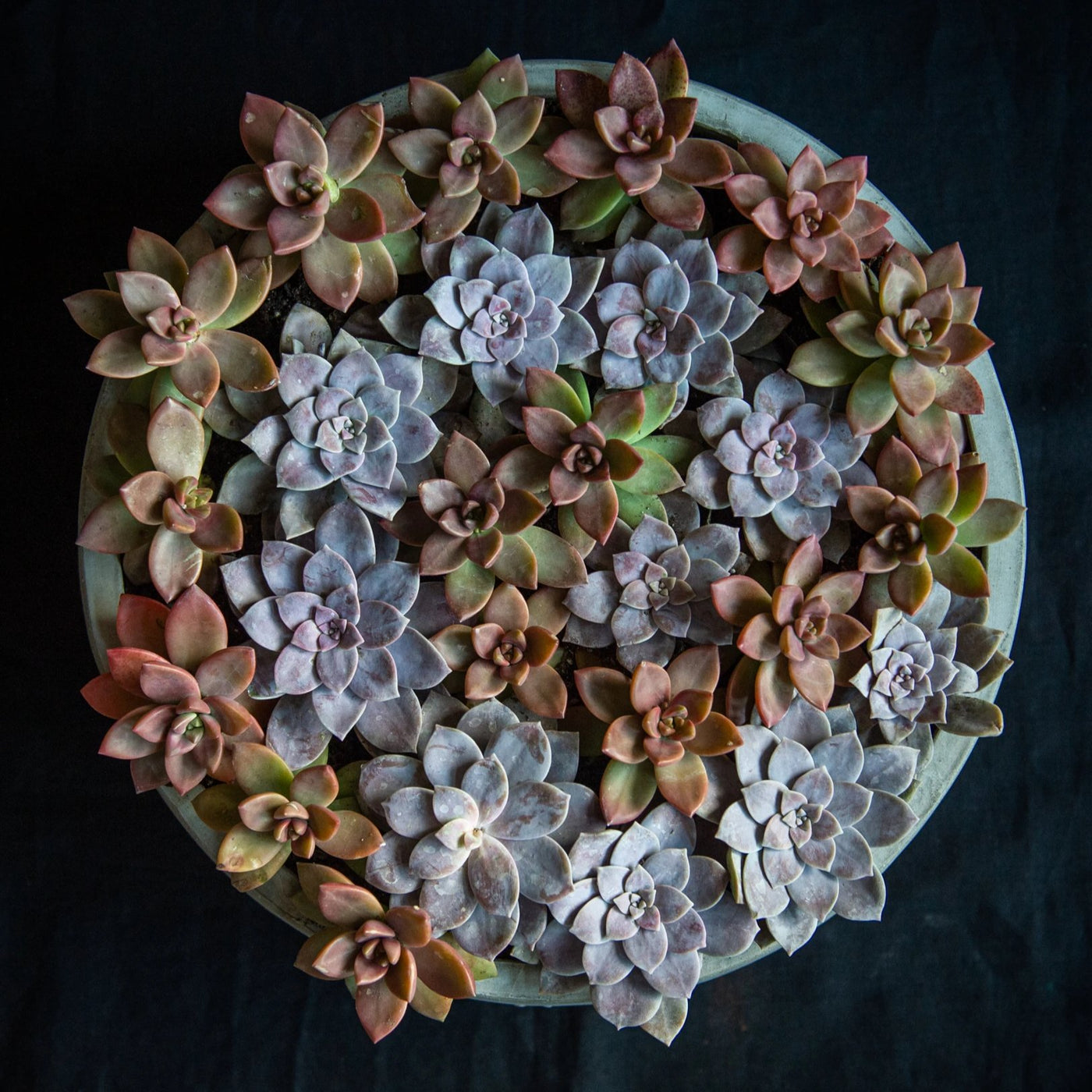 Two tone swirl of succulents in a concrete vessel