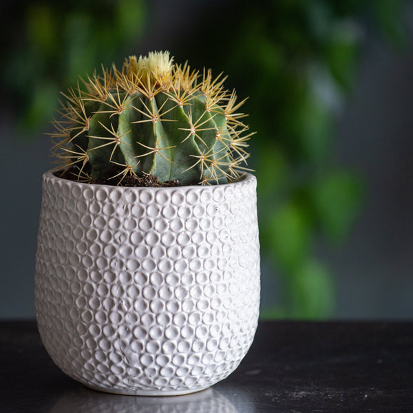 "Large Barrel Cactus in a with ceramic pot with a circle design ""all white"""