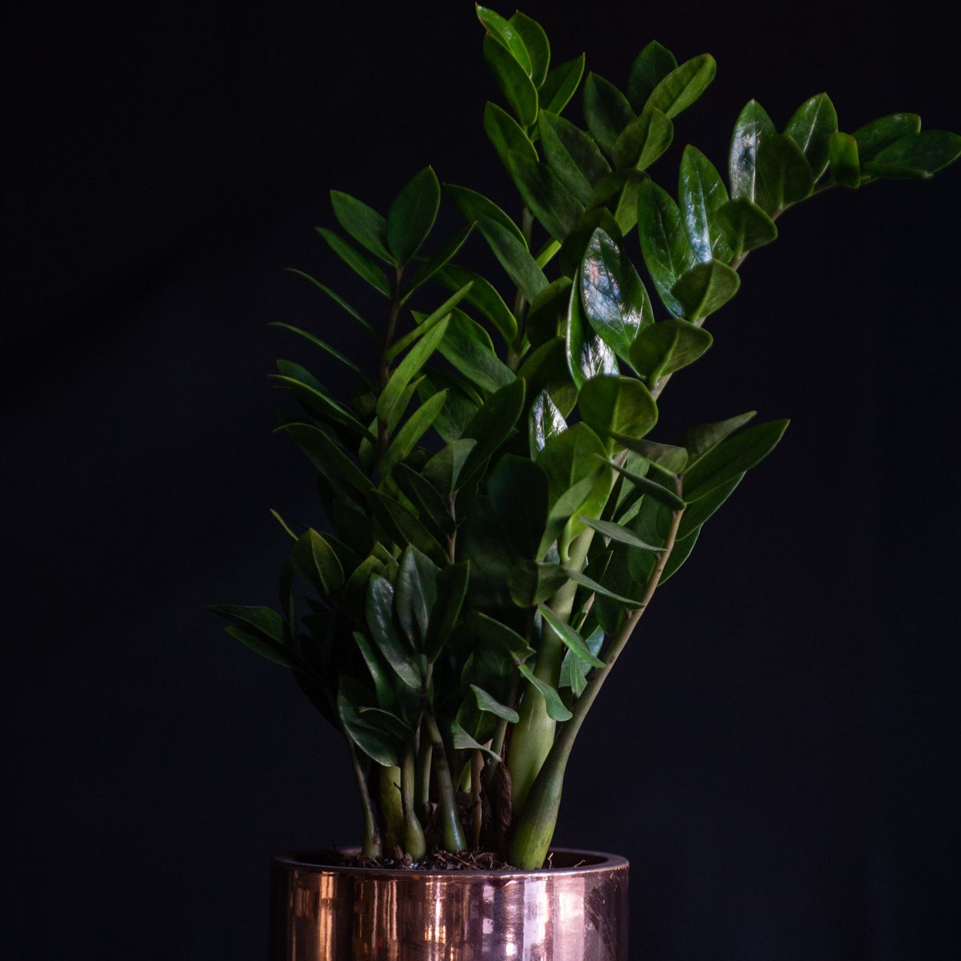ZZ Plant in Copper Pot