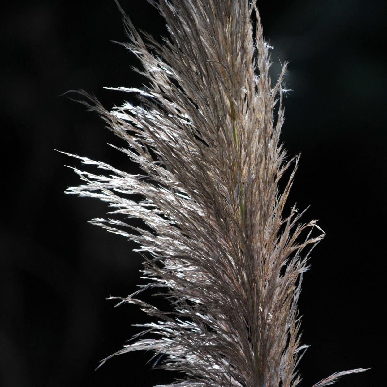 Pampas Grass Stalk (fresh)