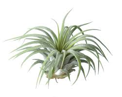 Air Plants - Flower Bar