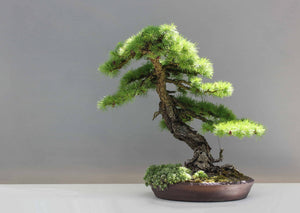 History of Bonsai Trees