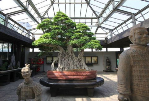 Ficus bonsai tree - one of the oldest trees in the world