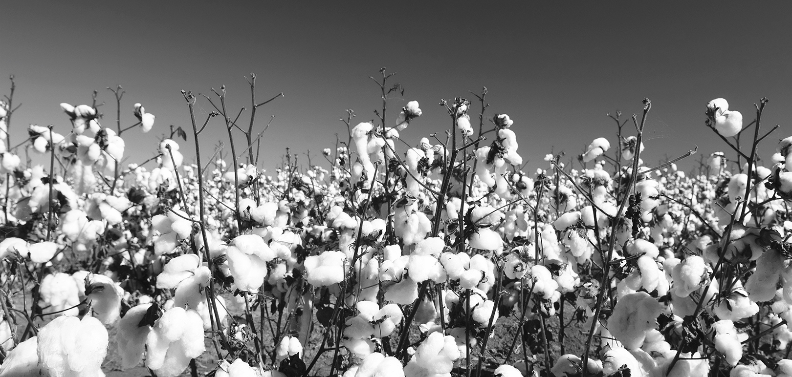 ISE - GOTS ORGANIC COTTON PLANT IN THE FIELDS