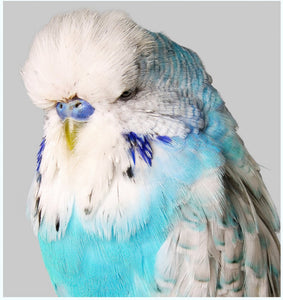 Light Blue Budgie Art Print 25x25 | Unframed
