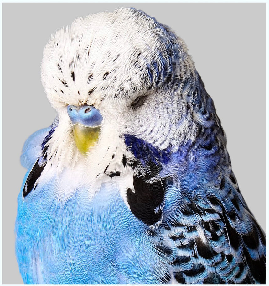 Blue Budgie Art Print 25x25 | Unframed