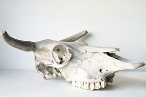 Found Authentic Texas Cow Skull