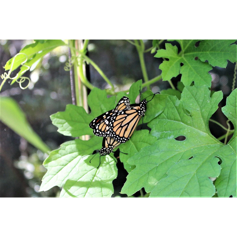 "Tool-Free Classic Sienna 4' x 8' Pro Butterfly Pollinator - 1"" profile"