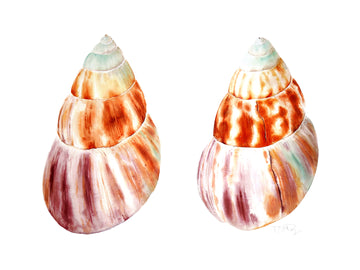 A beautifully watercolour painted pair of of shells by artist Michelle SaintOnge.