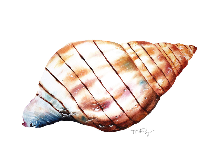 A watercolour painting of a banded tulip seashell by artist Michelle SaintOnge.