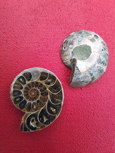 Ammonite Fossil Set
