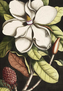 Magnolia on Black | A3 Art Print