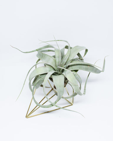 Xerographica - Queen Air Plant