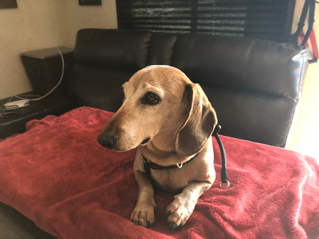 Oliver, the 14 year old Doxie