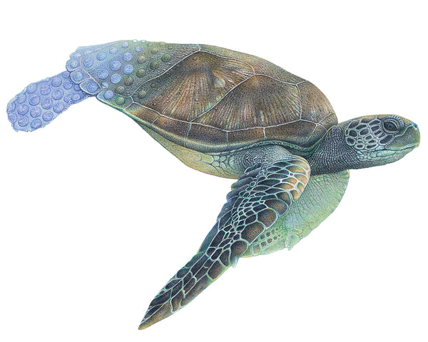 Drawing of a green sea turtle with its hind flippers and back of shell turning into plastic bubble wrap - wildlife artivism