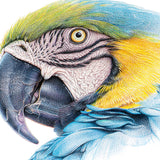 Close-up (cropped square) of blue & yellow macaw drawing by wildlife artist, Martin Aveling