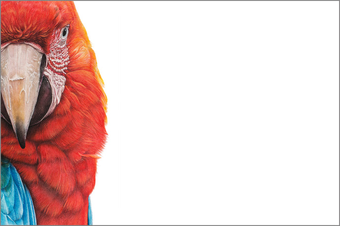 Macaw (LE print) - Martin Aveling