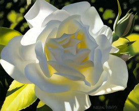 Divine White Rose By Brain Davis