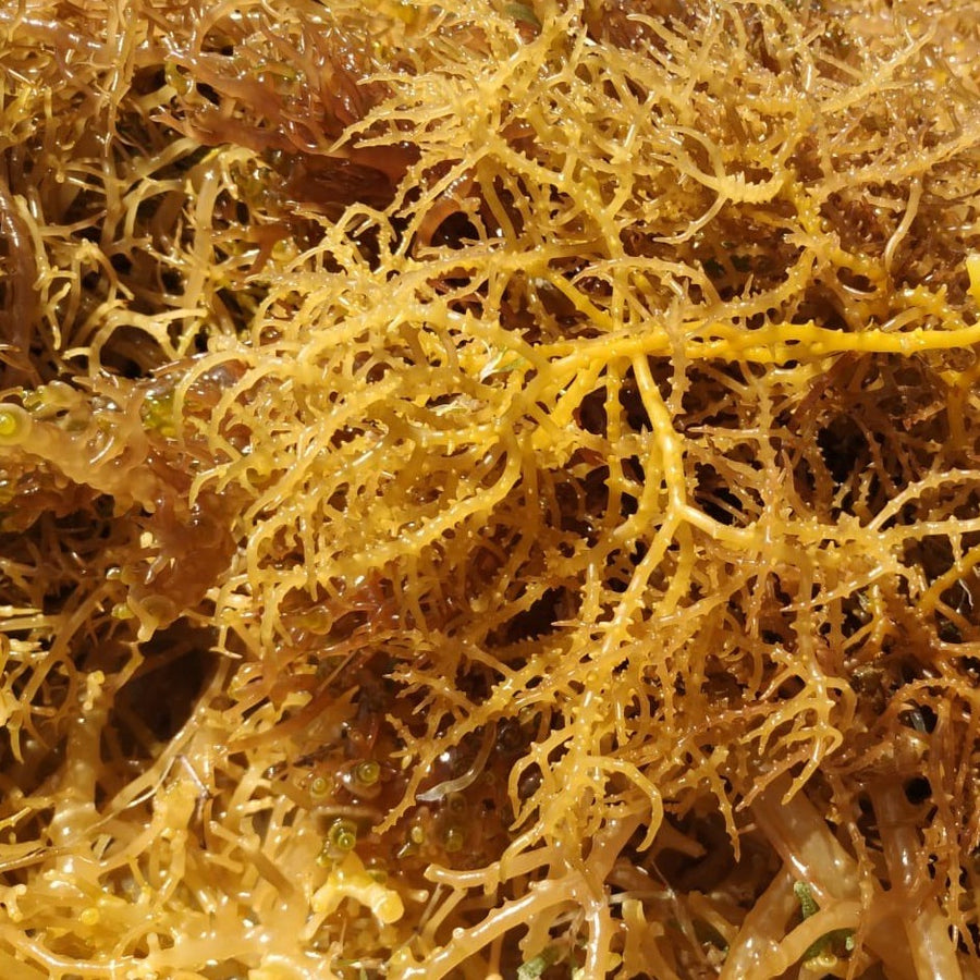 Raw Sea Moss Gold 8 OZ (Caribbean)