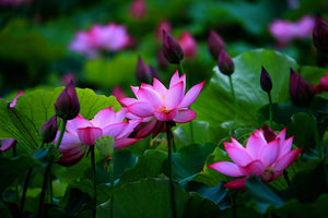 Lotus Seeds - Pink - 10 Seeds Pack