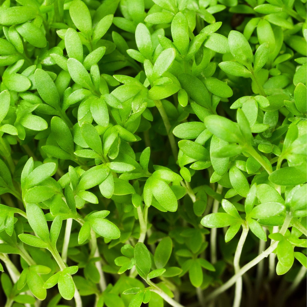 Garden Cress Microgreens / Halim Seeds - 50 gms