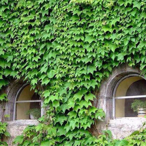 100pcs/bag ivy seeds Hedera Heli Creeper Seeds Green Grass Seed Anti-radiation ultraviolet ray bonsai climbing plants for garden