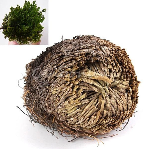 Resurrection Plant Full Shade Selaginella Lepidophylla Green House Plant Garden