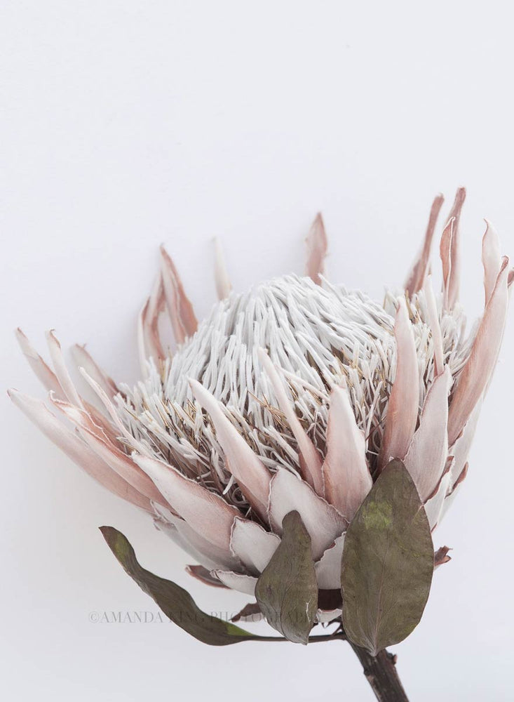 Old King Protea I
