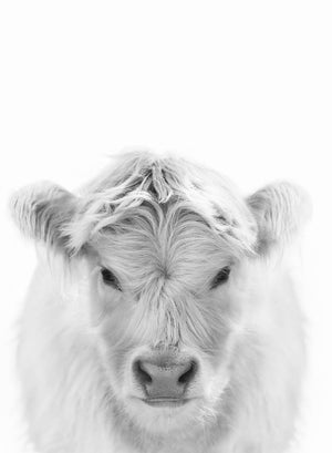 White Highland Calf