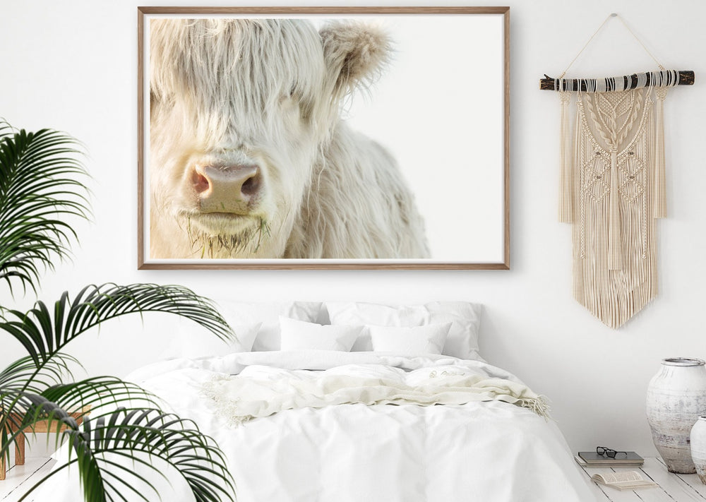 The White Highland Cow
