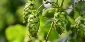 Mystery Solved: What are hops in beer?