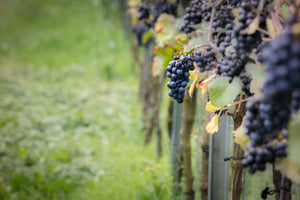 Why Pinot Noir is the Hardest Grape to Grow
