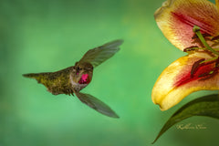 Photograph of hummingbird and a lily.