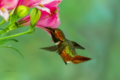 Photograph of a hummingbird and a lily.
