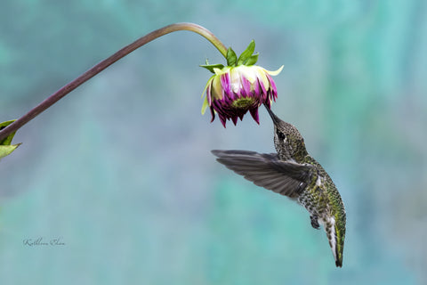 Picture of hummingbird visiting an astor against a blue background.