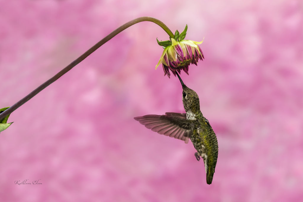 Picture of hummingbird visiting an Astor against a pink background.