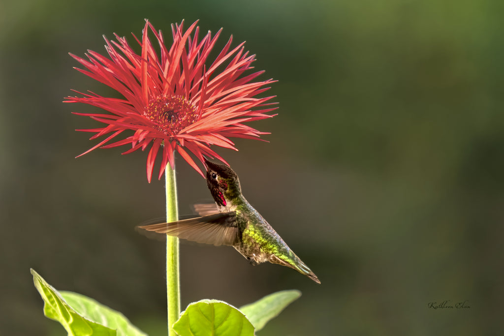 Picture of a hummingbird visiting an aster flower.