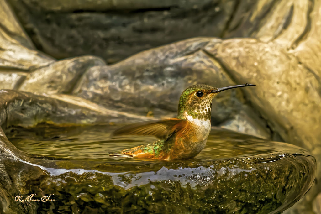Picture of hummingbird taking a bath.