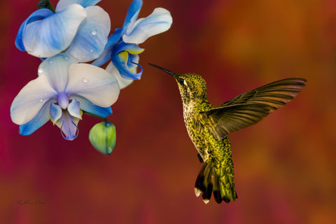 Photograph of hummingbird visiting a blue orchid.