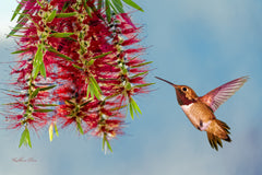 Photograph of a hummingbird and a bottle brush bloom.
