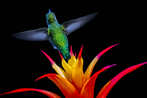 Photograph of a hummingbird and a colorful bromeliad.