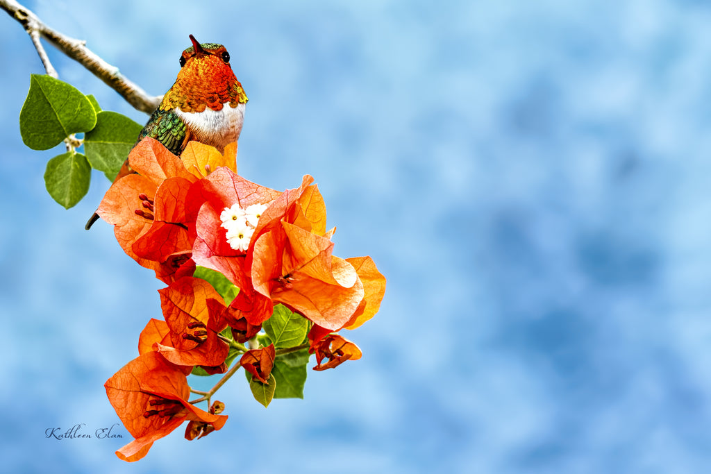 Photograph of a hummingbird on orange bougainvillea.