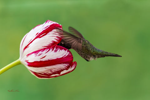 Photograph of hummingbird visiting a white and red striped tulip.