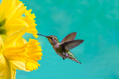 Photograph of hummingbird and a daffodil.