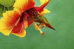 Photograph of a hummingbird visiting a hisbiscus.