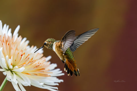 Photograph of hummingbird visiting an orange and white aster.