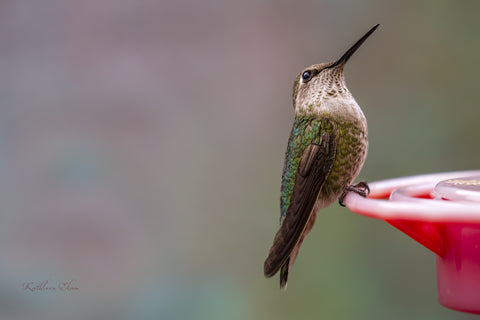 Photograph of a pensive hummingbird taking a moment.