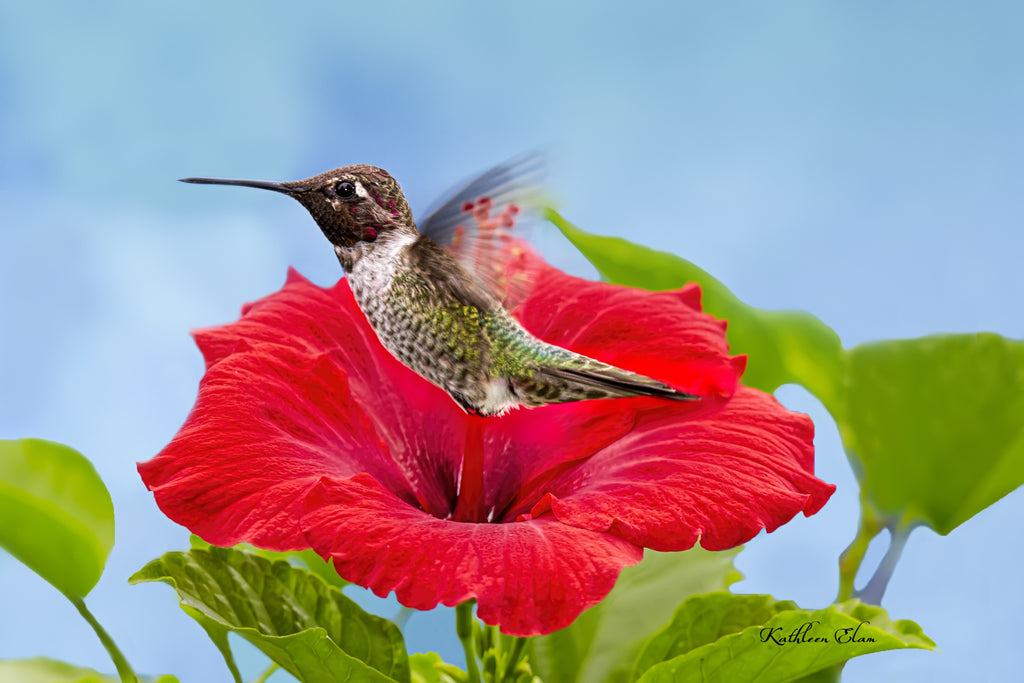 Photograph of a hummingbird and a red hibiscus.